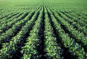 campo de cultivo de soja